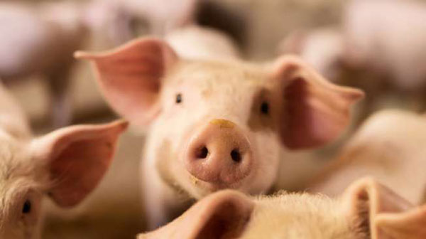 Di China Muncul Flu Babi Jenis Baru, Pandemi Baru?