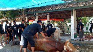 Susah Payah Untuk Menyembelih Sapi Kurban Jokowi di Masjid Al Wusto Solo