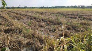 Ratusan Hektar Lahan Sawah di Klaten Terserang Hama Wereng