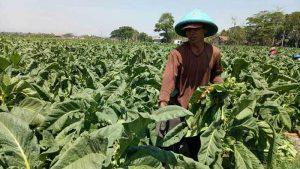Musim Kemarau Panjang, Petani di Karanganyar Tanam Tembakau