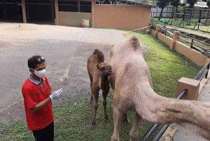 Direktur dan Karyawan Kebun Binatang Jurug Terancam Dirumahkan