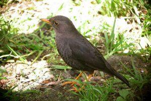 Viral Burung Jalak Tuntun Pendaki Gunung Lawu, Ini Kata Peneliti